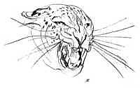 paul bosman leopard sketch
