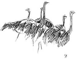 paul bosman ostrich sketch